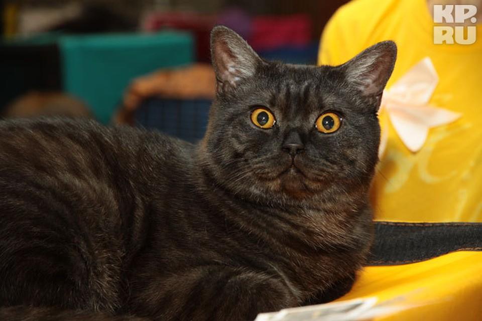 Выставка кошек по американскому формату пройдет в Иркутске.
