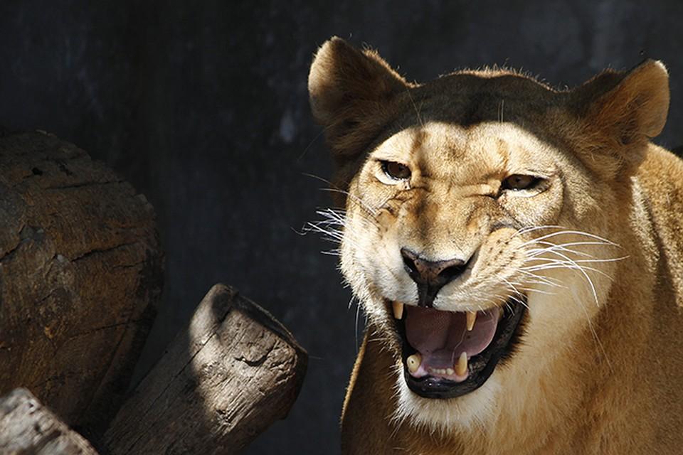 Член льва проникает в львицу фото 167-69