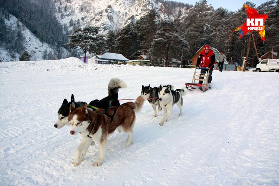 Хаски - невероятно выносливые, активные и работоспособные собаки. Могут в любую погоду бежать со скоростью 20 км/ч до восьми часов без перерыва