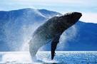 Международный суд запретил Японии китобойный промысел