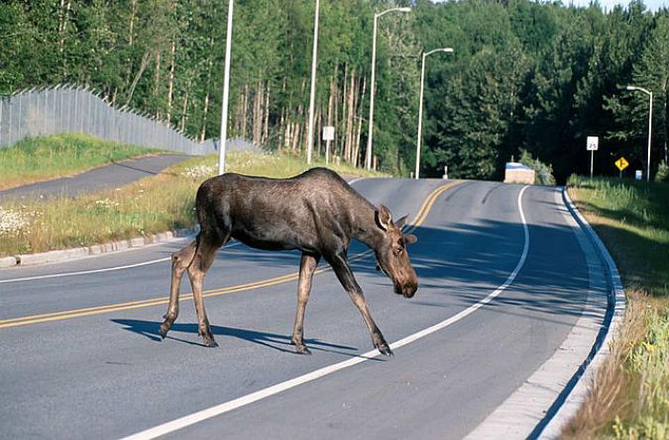 Лось на дороге картинка