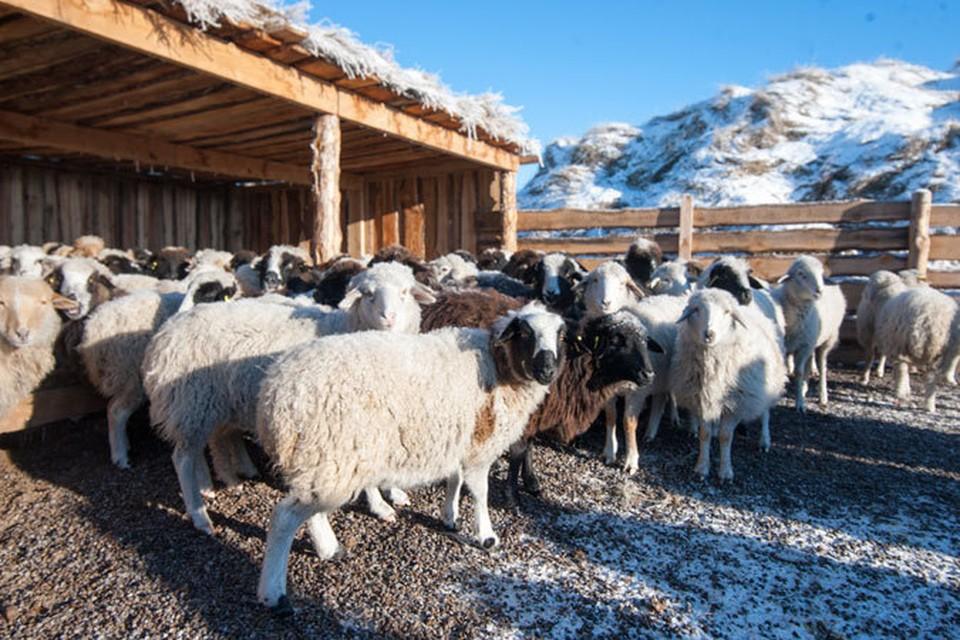"""Этих барашков получил по программе """"Социальная отара"""" фермер Бадмаев прошлой зимой. Фото Марка Агнора."""