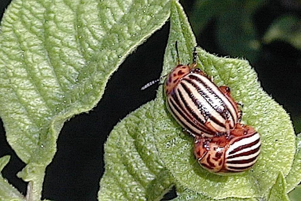 Этот красивый, но вредный жук начал нашествие на подмосковные огороды.