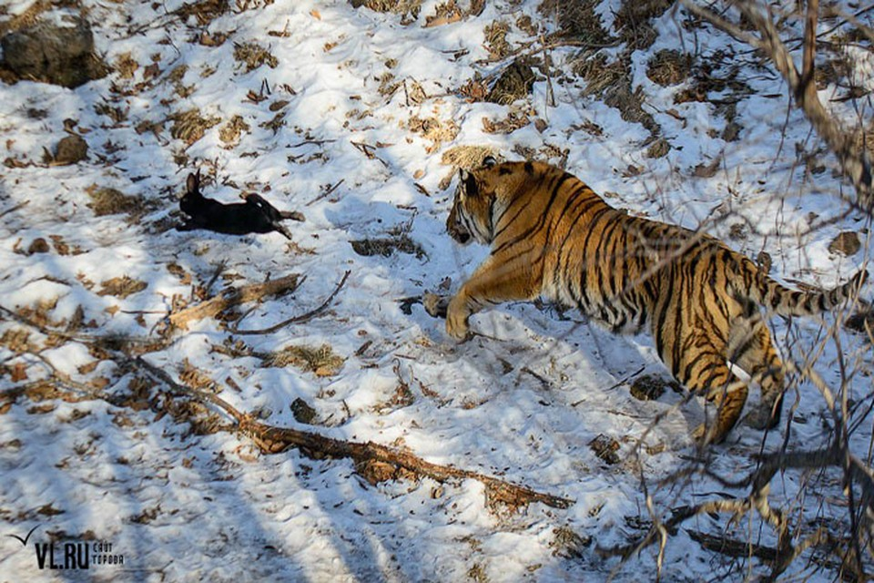 Тигр теперь охотится только на кроликов. Фото: vl.ru
