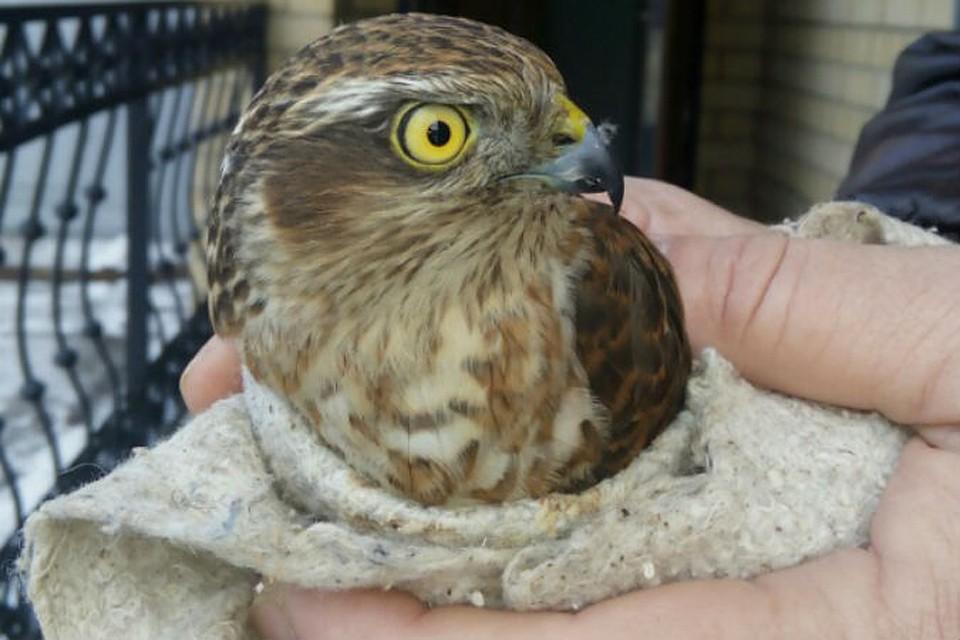 птица скопец фото