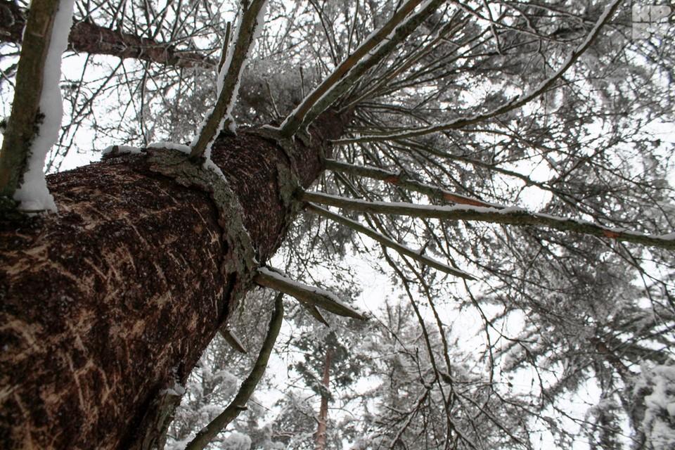 Беловежскую пущу атакует короед, но повальной вырубки леса, как в Польше, нет.