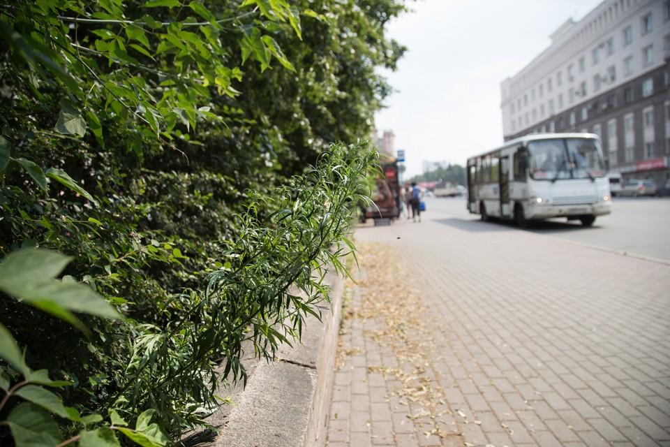 Очень подозрительное растение возле Площади Революции.