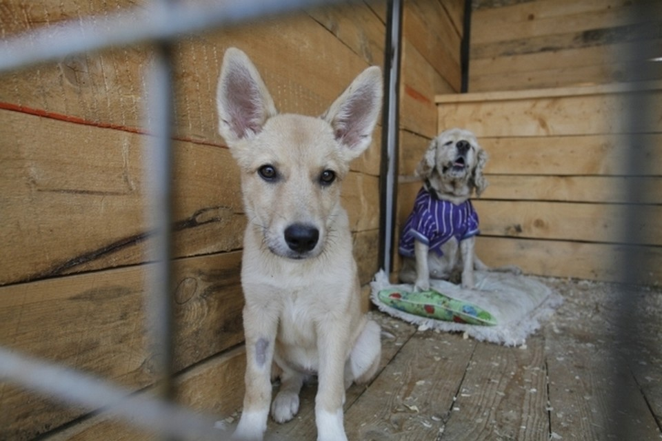 Собак отпускают на волю после чипирования и прививки.