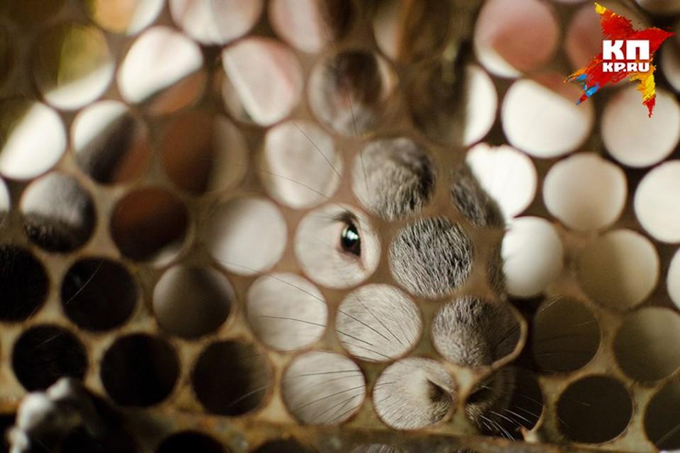Разработка новосибирских ученых поможет избавить от страданий невинных кроликов.