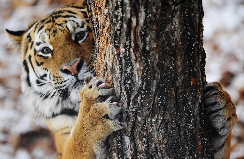 Секс с тигром бесплатно