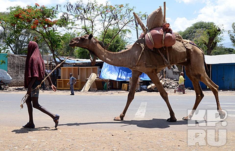 Одногорбый верблюд - корабль эфиопской пустыни