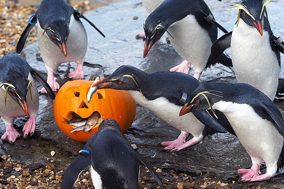 В честь наступающего праздника Хеллоуина для питомцев зоопарка в британском Уипснейде приготовили вкусное угощение