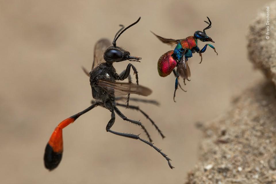 """Сказка о двух осах"" / Frank Deschandol (Франция) / Wildlife Photographer of the year"