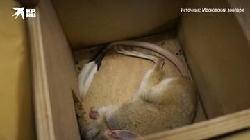 В Московском зоопарке тушканчики прошли взвешивание во время зимней спячки