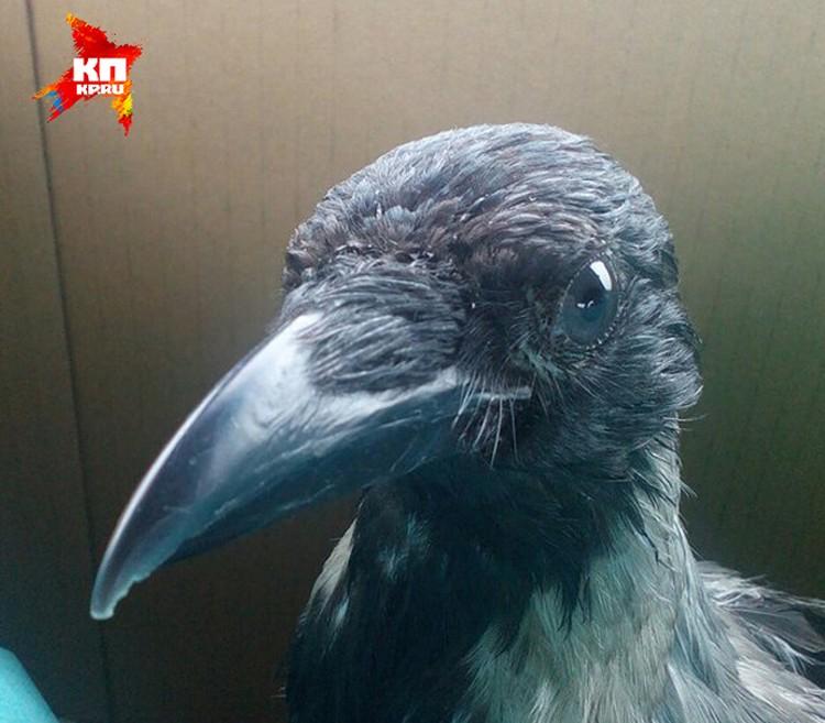 Ворона оказалась умной птицей. Фото: предоставлено Еленой ЩЕЛГАНОВОЙ