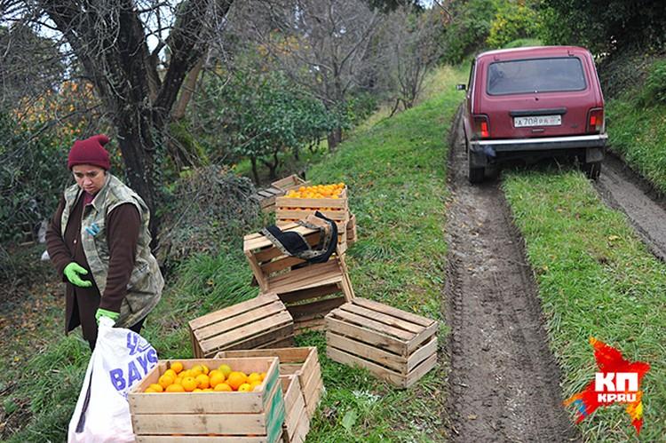 В Абхазии выращивают всего-то 30 – 35 тысяч тонн мандаринов