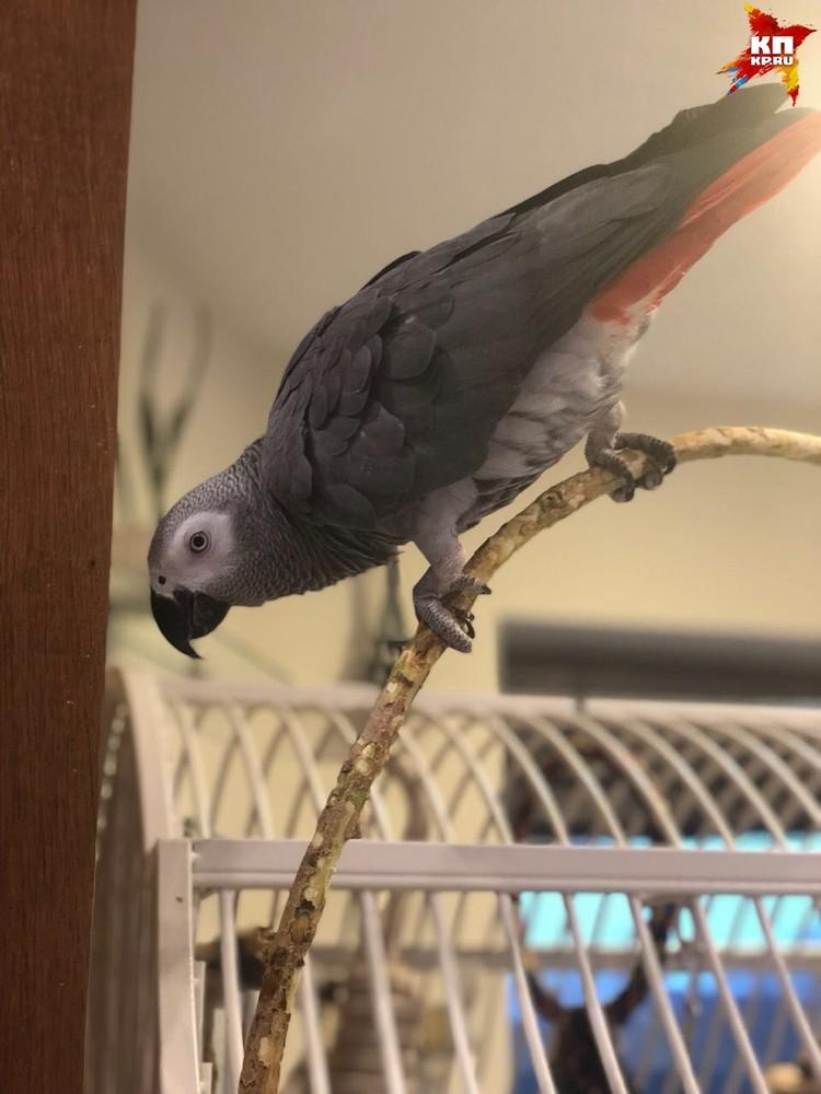 Попугай Аполлон живет у Аланы уже несколько дней. Фото: Алана Мамаева