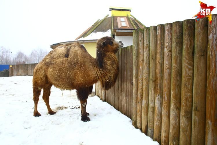 Одинокая самка двугорбого верблюда.