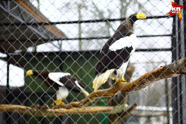 Белоплечие орланы - удивительно красивые и царственные птицы