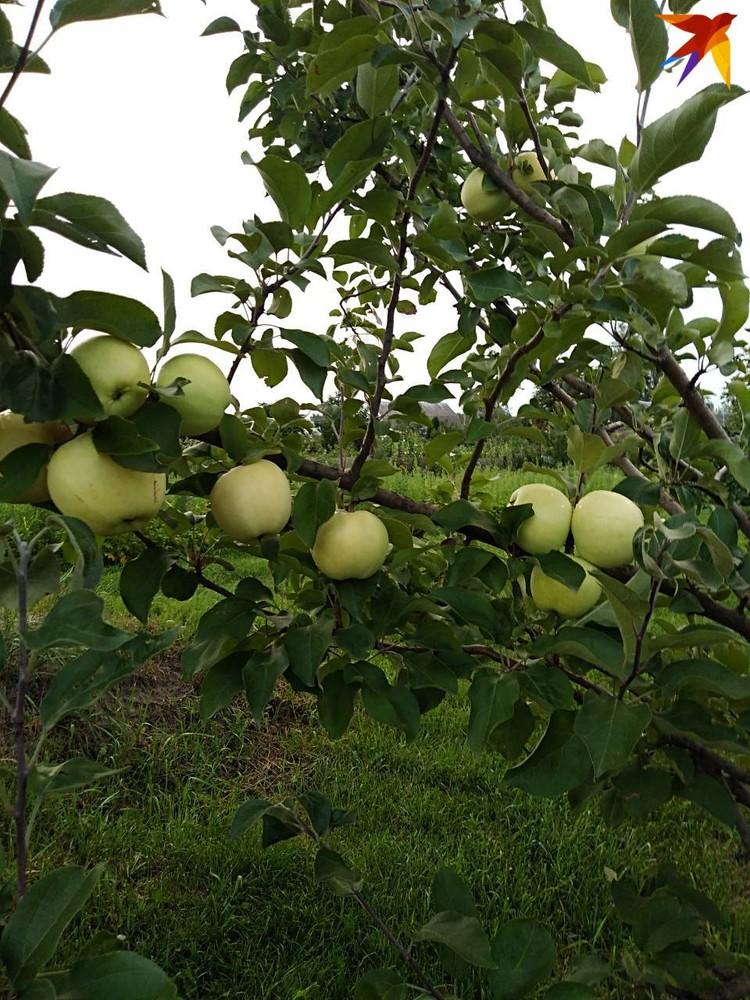 Плоды с чудо-яблони похожи на белый налив. Фото: личный архив