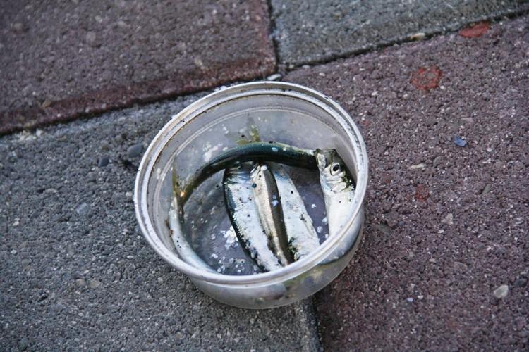 Рыбаки выделили для слепой чайки специальную миску для рыбы