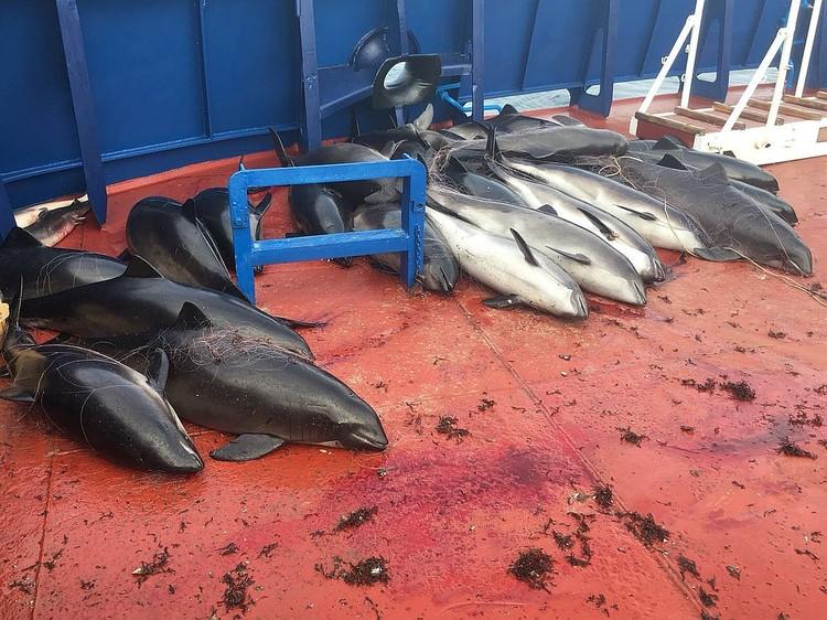 Браконьеры уничтожили 46 крымских краснокнижных дельфинов. Фото: ПУ ФСБ по РК