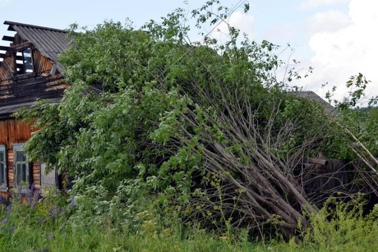 Ветер повалил деревья. Фото: Елена ДМИТРИЕВА