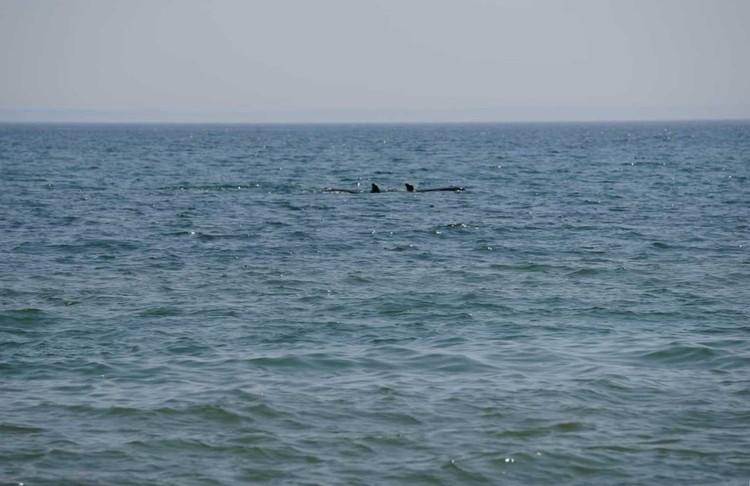 Две косатки не спешили уходит в море, а подождали выпуск третьей. Фото: сайт ВНИРО