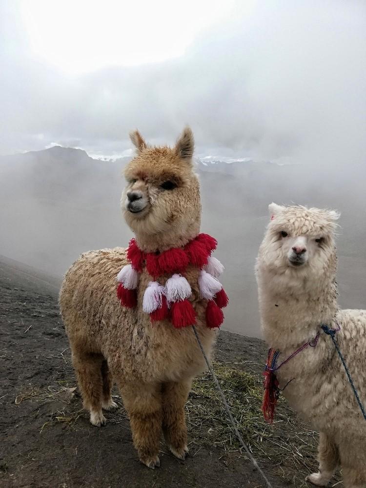 Забавные ламы в Перу