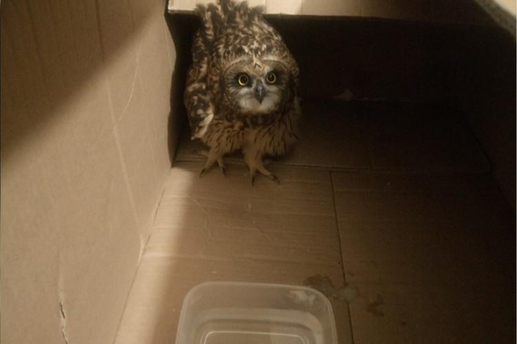 В питомник Светлана повезет сову завтра. Пока же птица сидит в большой коробке, пьет воду и ест куриные сердечки. Фото из инстаграм-аккаунта @motik_kotik