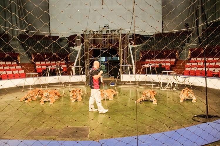 У каждого тигра - свои повадки