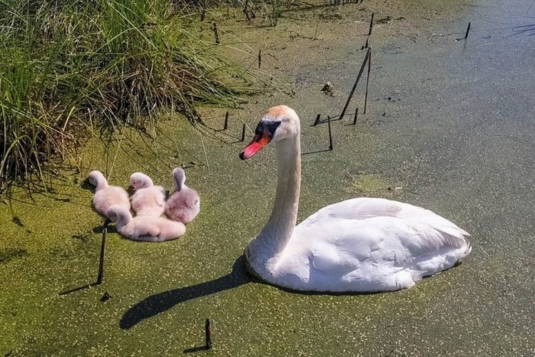 У пары появились четыре птенца. Один из них с самого рождения был почти черного цвета, за что получил прозвище Черныш.