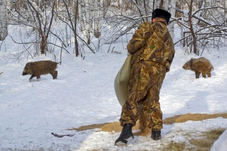 Инспекторы подкармливают зерном диких кабанов. Фото: Алексей Булатов .