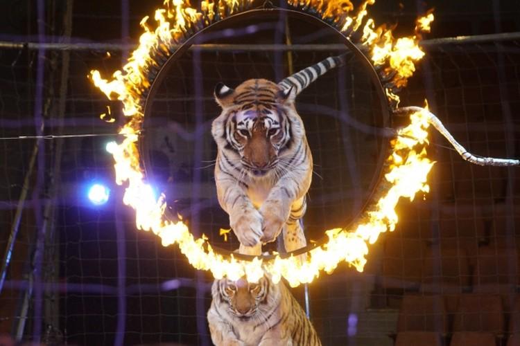 Тигры дрессировщика Николая Павленко.