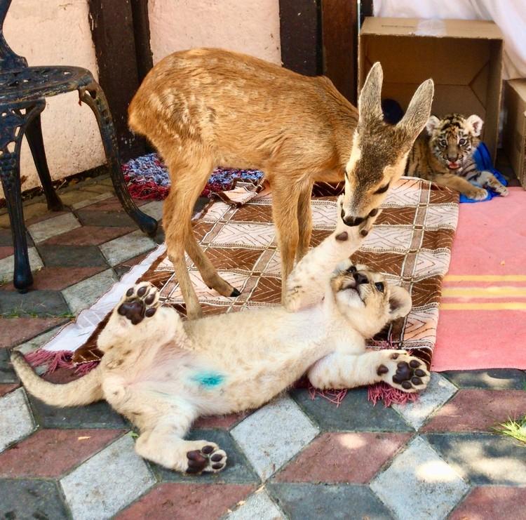 Олежка и тигренок нашли общий язык. Фото: Даниэлла Вознесенская