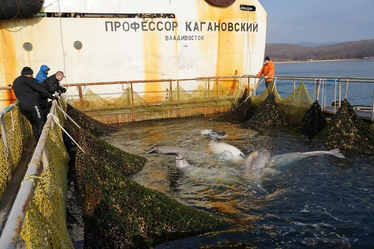 Освобождение белух. Автор фото: пресс-служба ВНИРО