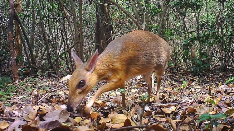 Чепрачный олень Фото: Southern Institute of Ecology
