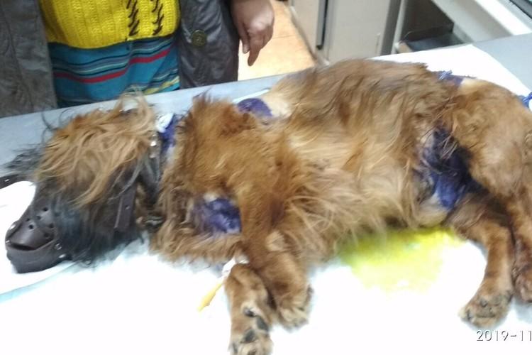 Баксик тяжело отходит после нападения агрессивных собак. По словам хозяйки, пес ничего не ест.