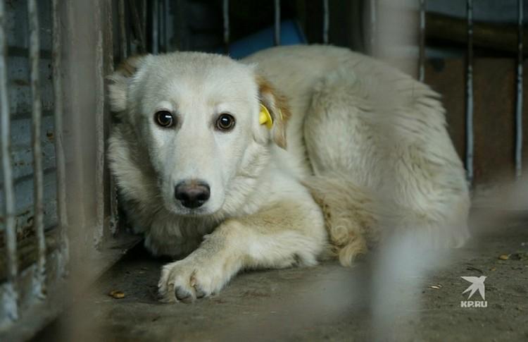 Псов, которых стерилизовали и вакцинировали, легко отличить: в ушах у них висят опознавательные бирки