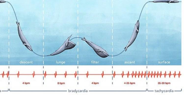 Пульс кита то замедлялся, то ускорялся.