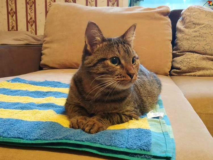 На диване кот предпочитает лежать на полотенце, на котором его везли в кабине грузовика
