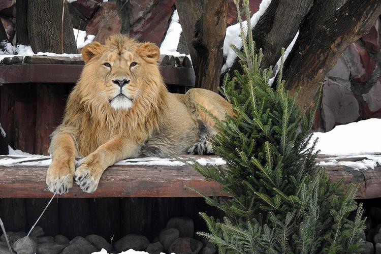 Деревья становятся украшениями вольеров животных, а также новыми игрушками или полезными лакомствами. Фото: moscowzoo.ru