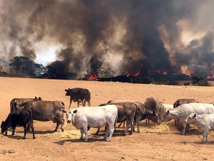 В опасности не только дикие, но и домашние животные страны - что уж говорить о том, как пострадало сельское хозяйство Австралии