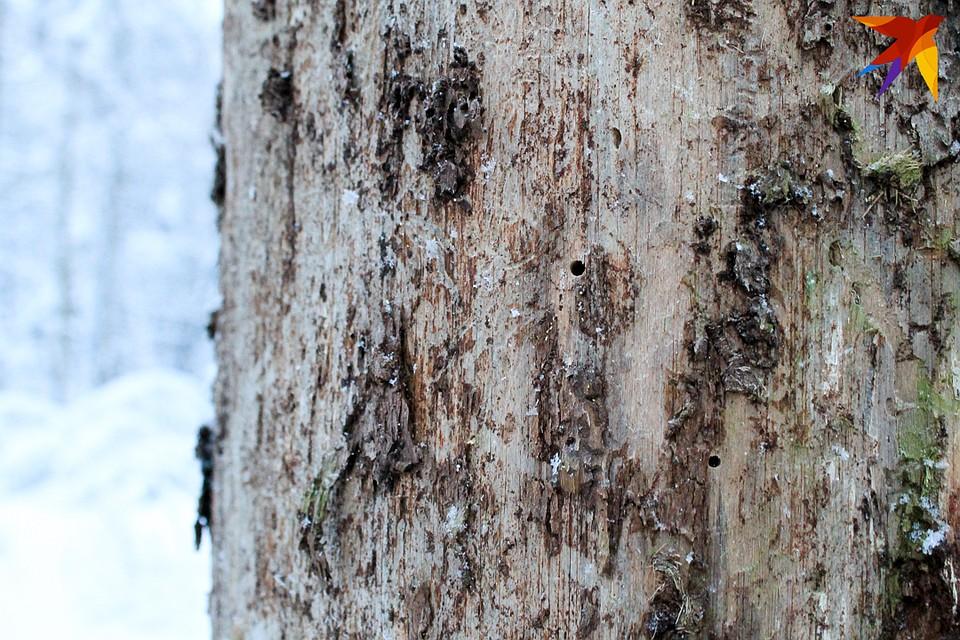 В этом году короеды зимуют в тепличных условиях. Фото: Оксана БРОВАЧ