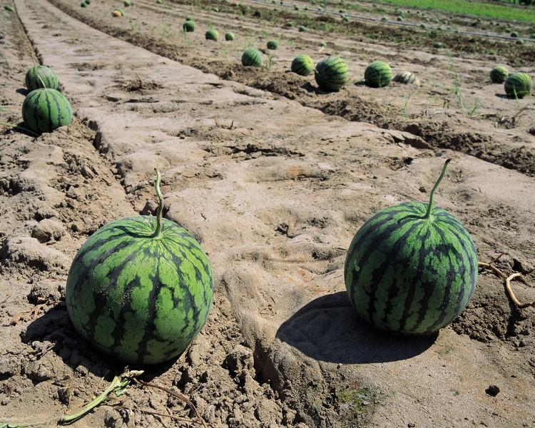 Оказывается, вырастить арбузы в нашем климате уже не сложнее, чем огурцы.