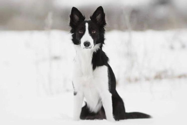 Ультра принадлежит к самой умной породе собак в мире. Фото: Лиза Рязанова