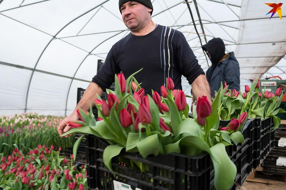 Чтобы быстро собрать цветочный урожай, хозяйство берет людей на подработку. Фото: Надежда ПАВЛЮЧИК