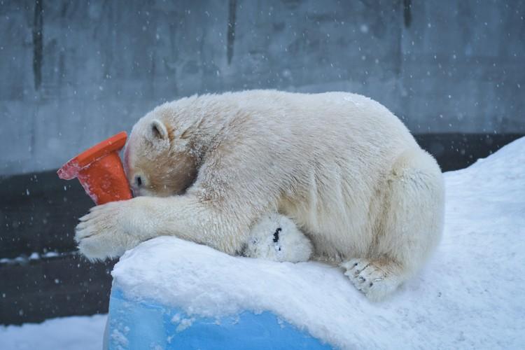 Медведь ловко вскарабкался на сугроб с игрушкой в зубах.