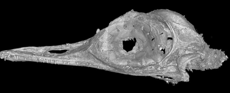 3-D модель черепа птице подобного динозавра.