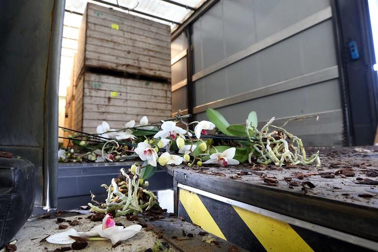 В Нидерландах в разгаре сезон тюльпанов, однако в этом году миллионы роз, тюльпанов, хризантем и других цветов отправятся не в цветочные лавки, а прямиком на помойку. Фото: EPA/ТАСС